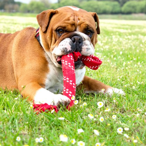 rogz scrubz_teeth-cleaning_red_bulldog